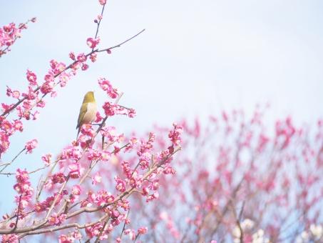 春の定番組み合わせ「梅にウグイス」は嘘?