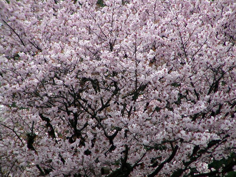 福岡の「お花見」スポット、自選3選プラス1