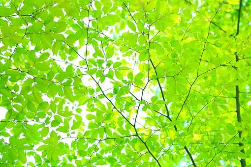 新緑の季節なのに「目には青葉」、緑なのに青信号、いったい緑なの青なの?