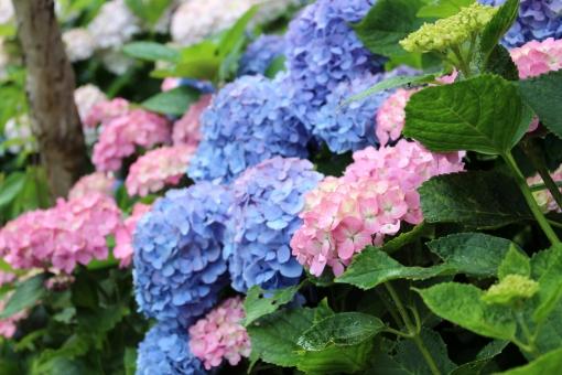 紫陽花は謎の花。同じ株でも違う色、元の漢字は違う花、しかも毒がある⁉︎