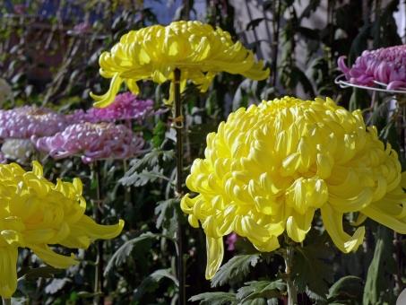 9月9日は菊の節句とも言われる重陽の節句、どんな日?どんなことをするの?