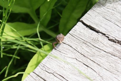 トカゲ、カナヘビ、ヤモリ、イモリ、どれがどれやら、違いはどこに。